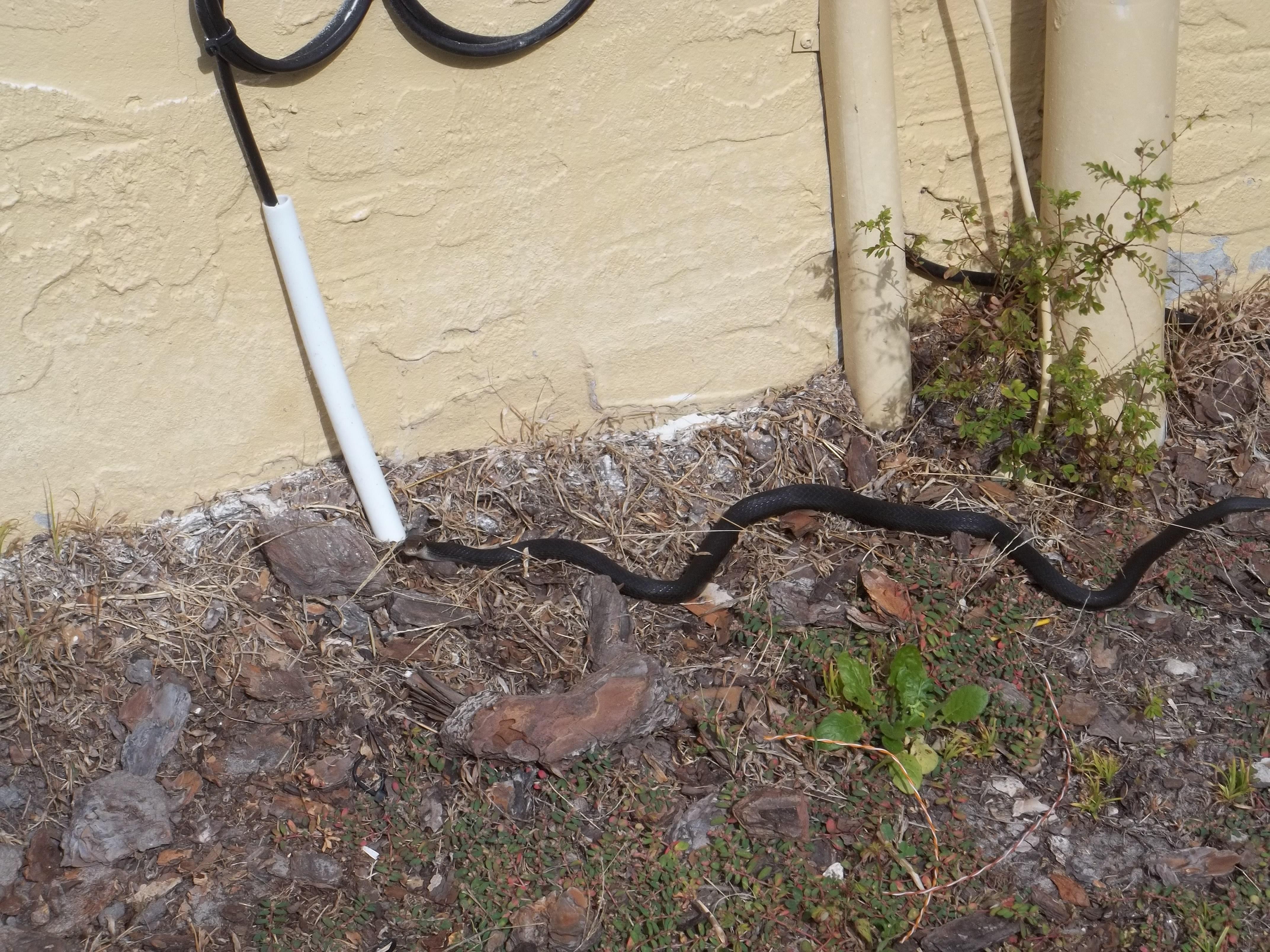 Black-Snake-home