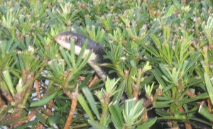 Black Snake In Bush Orlando Removal