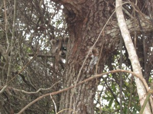 Orlando Raccoon in attic found nesting in tree