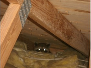 Raccoon Spotted in Attic