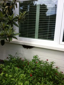 Bee swarm under window sill Sarasota Florida
