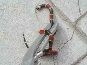 Orlando Coral Snake