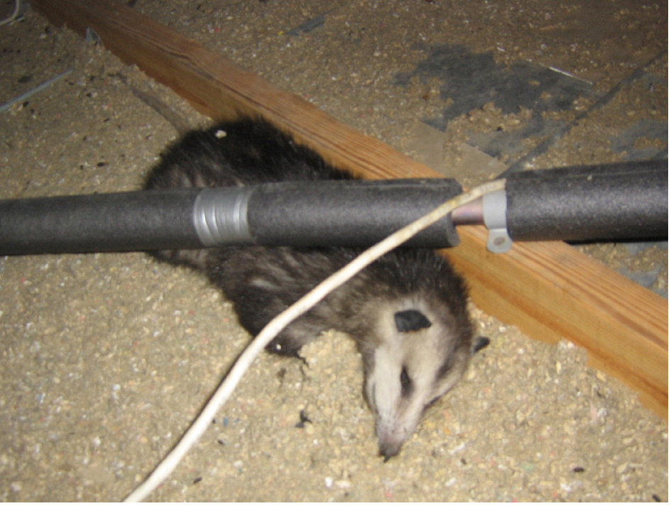 Opossum Not Just Pretending To Be Dead In An Attic In